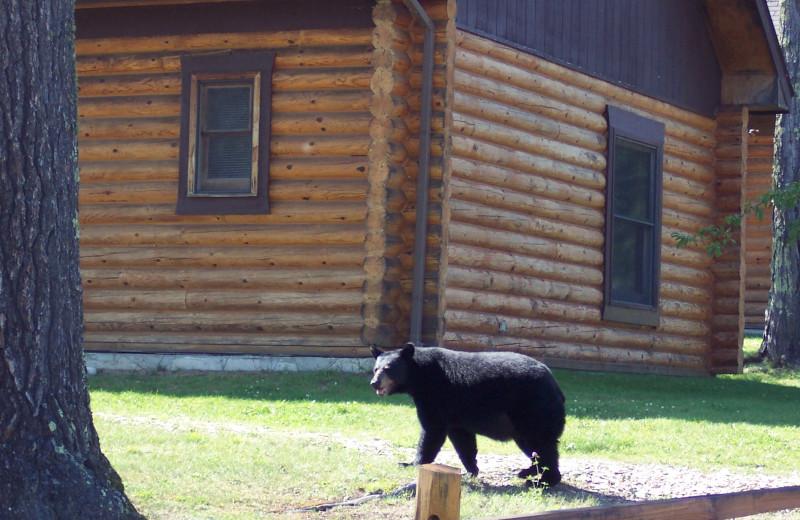 Black bear at Deer Ridge Resort.