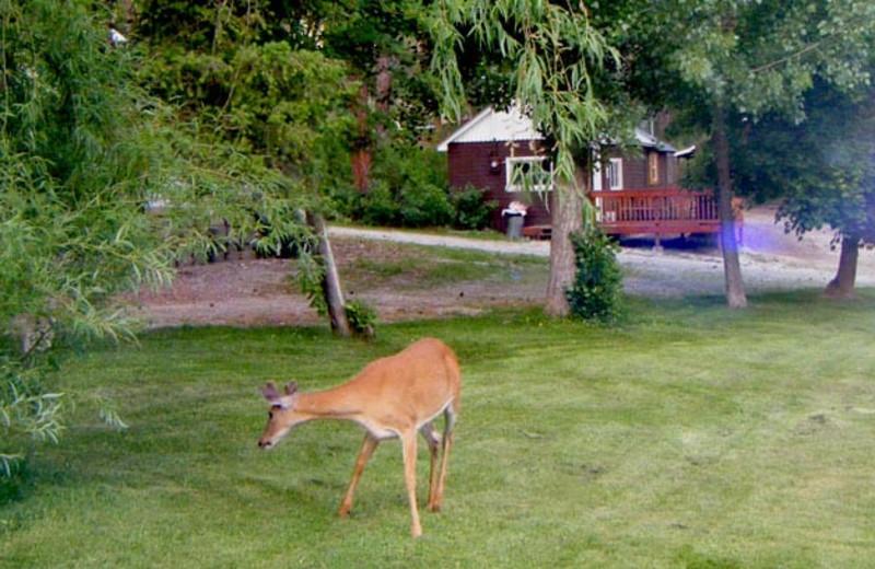 Deer at Silver Beach Resort.