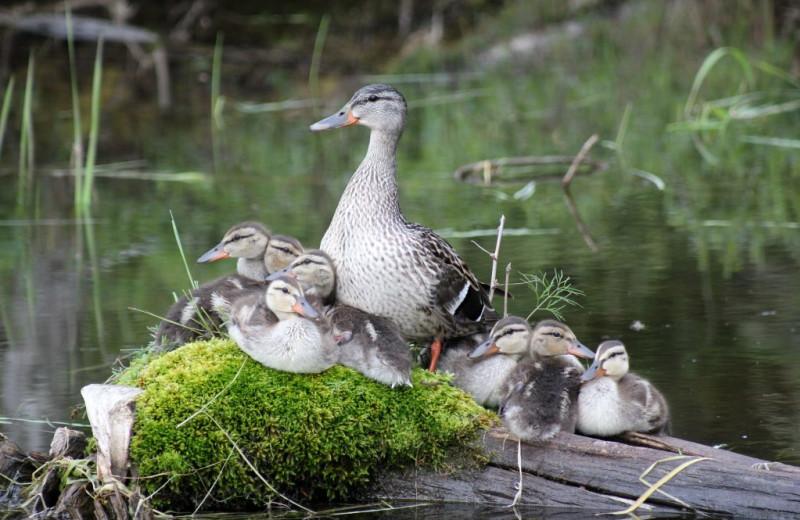 Ducks at Rainbow Point Lodge.