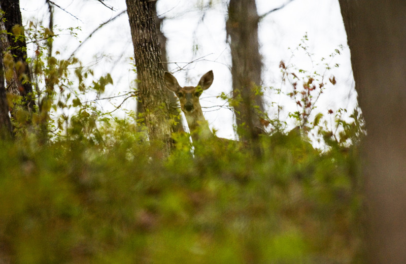 Deer at Buffalo River Outfitters.