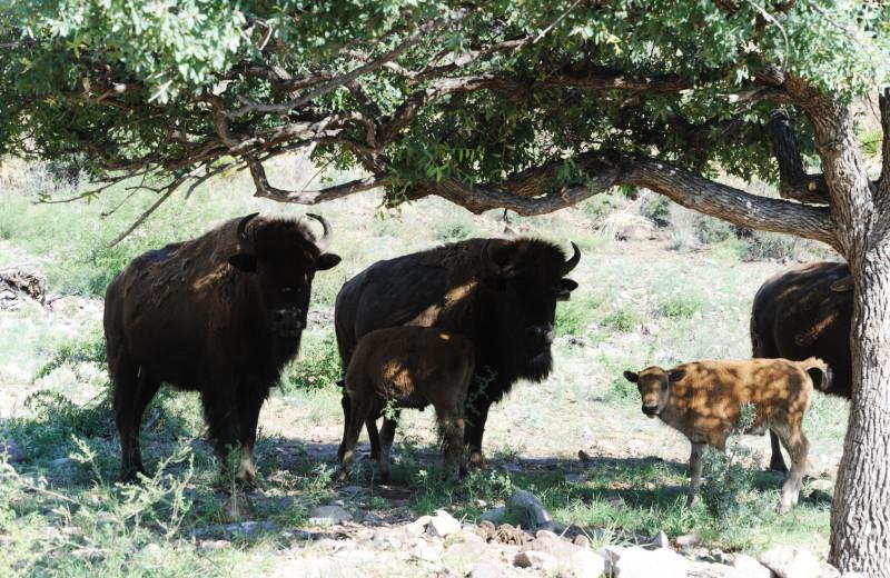 Bison at Cibolo Creek Ranch.