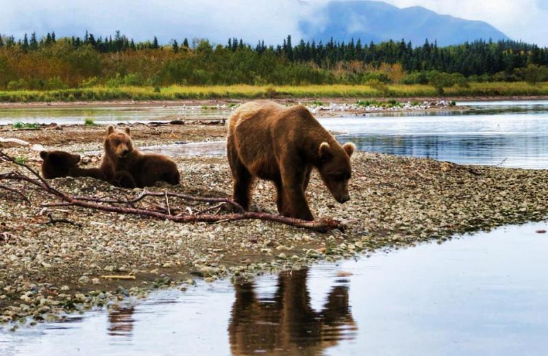 Bear at Alaska Trophy Adventures Lodge.