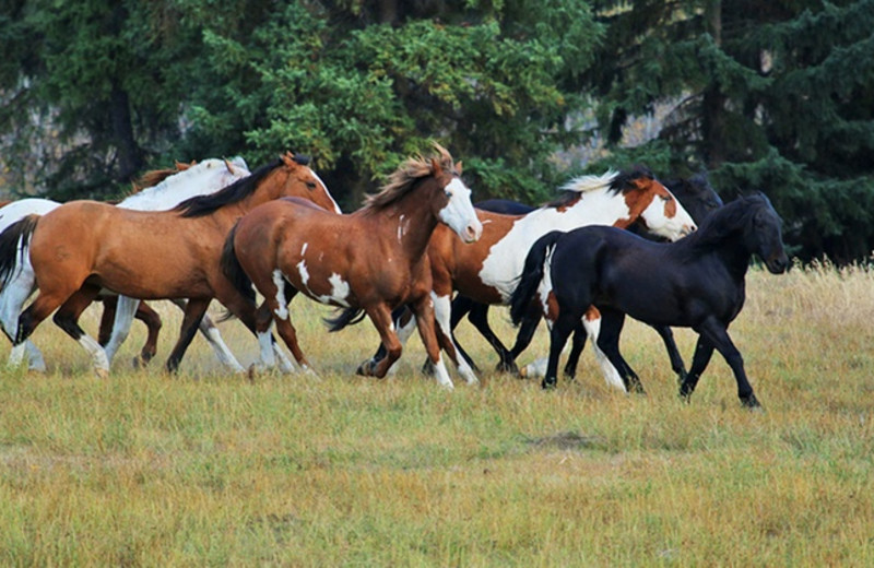 Horses running at YD Guest Ranch.