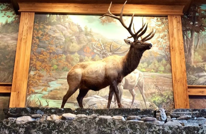 Elk at Big Cypress Lodge.