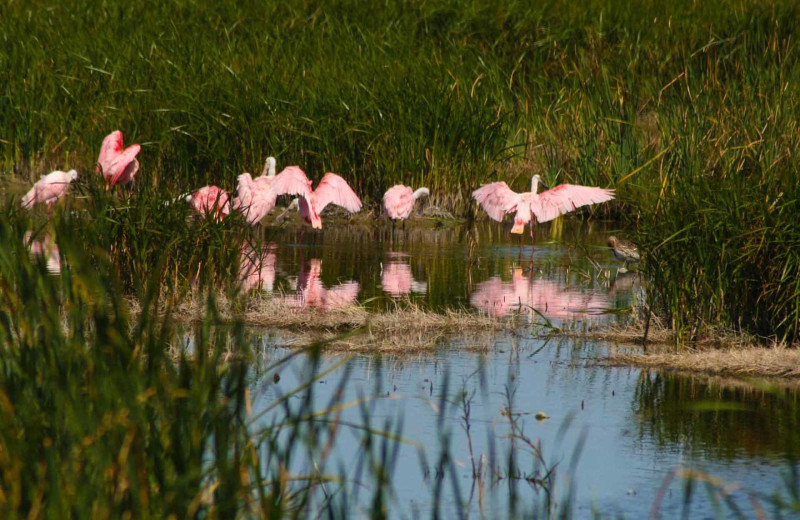 Flamingos at Padre Island Rentals.