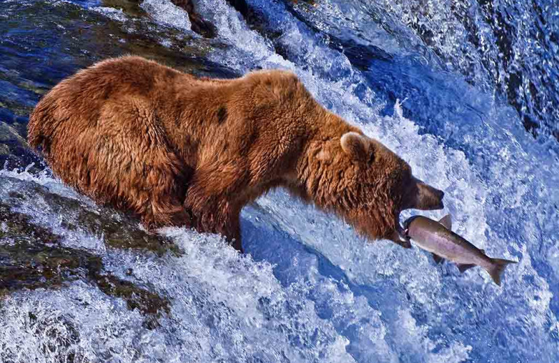 Brown bear catching salmon at Alaska's Gold Creek Lodge.