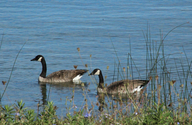 Canada geese at Black Rock Resort.