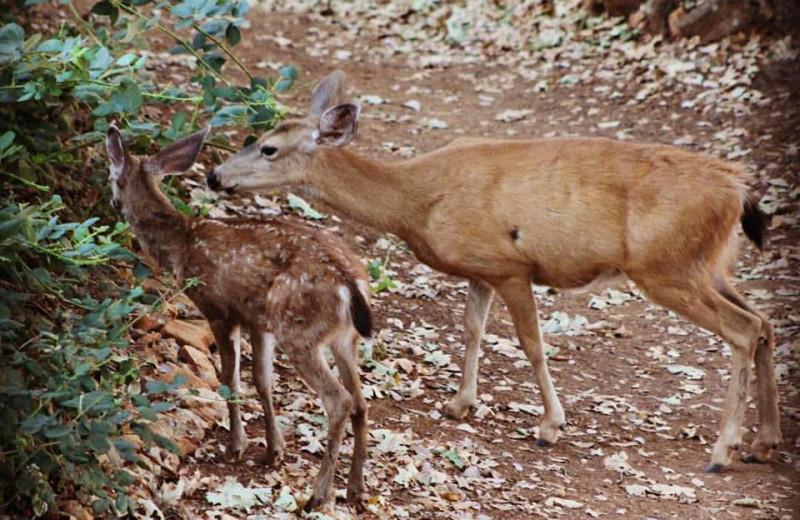 Deer at Tsasdi Resort.