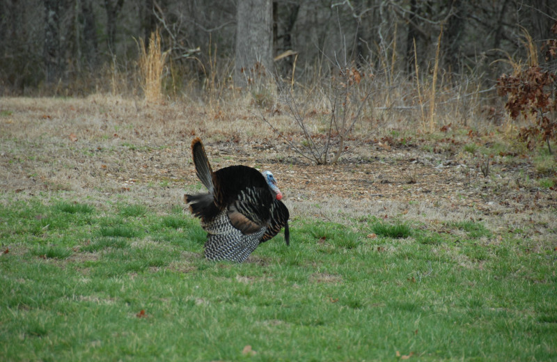 Turkey spotted near The White River Inn.