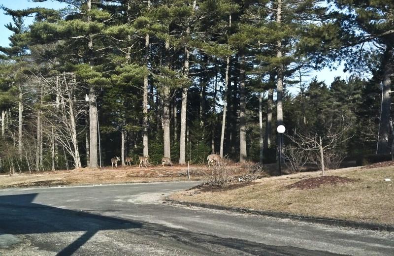 Deer at Best Western Acadia Park Inn.