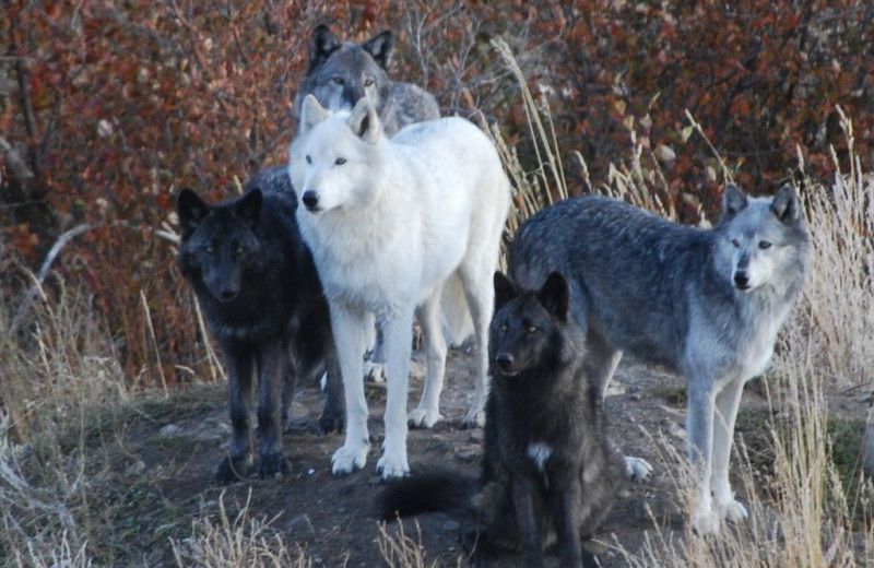 Wolf Sanctuary at Howlers Inn Bed and Breakfast
