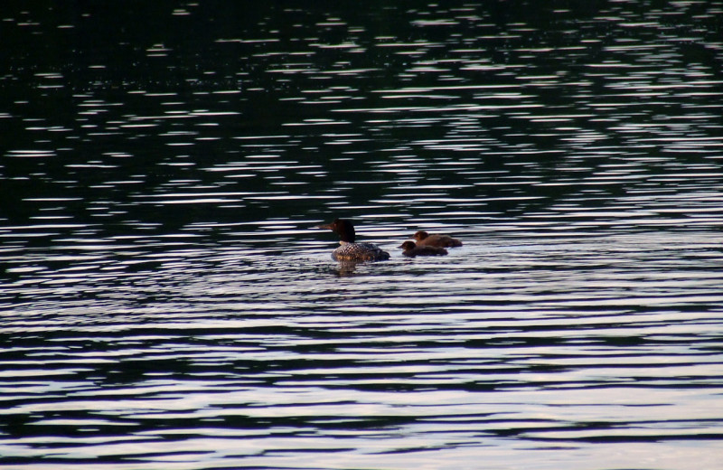 Loons on the lake at Pine Terrace Resort.