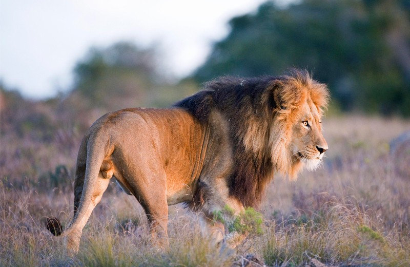 Lion at Amakhala Game Reserve.