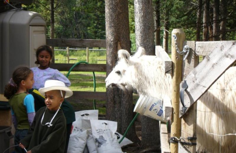 Visiting the llama at Cheechako Cabins.
