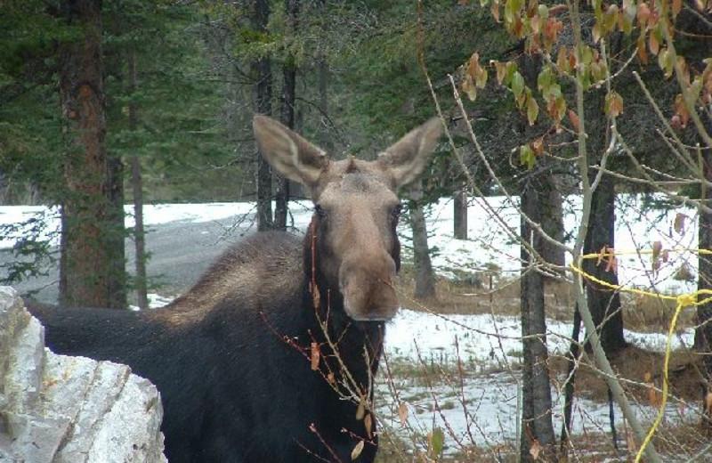 Moose at Cheechako Cabins.