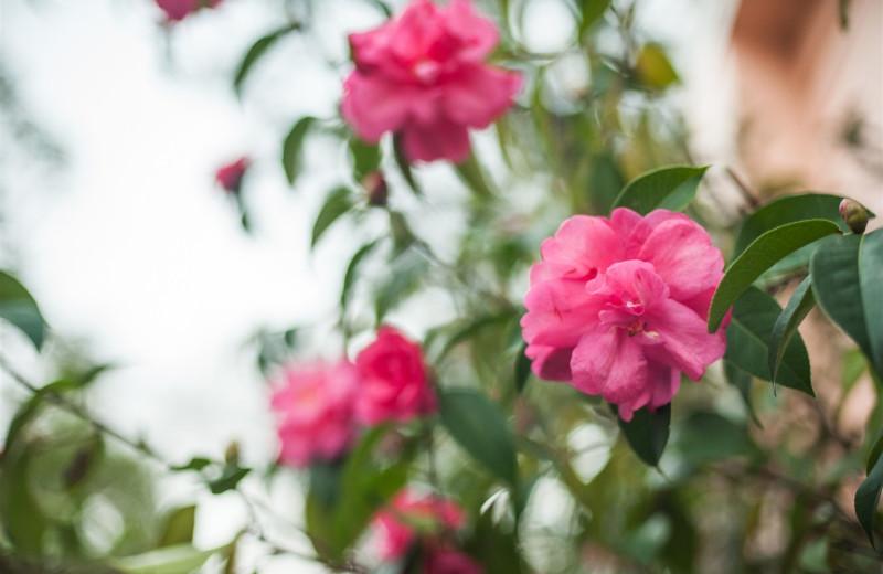 Camellias at Camellia Inn.