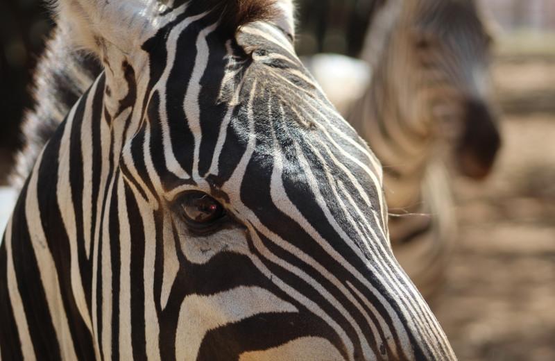 Zebra at The Exotic Resort Zoo.