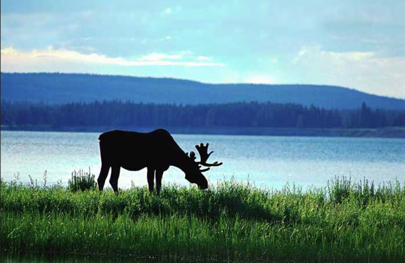 Moose at Eagle Wing Resort.