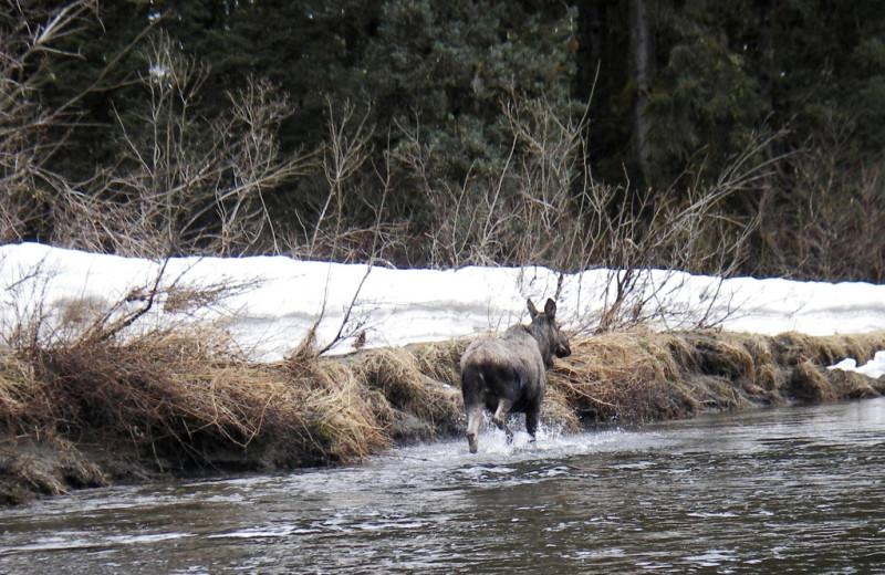 Moose at Kenai River Drifters Lodge.