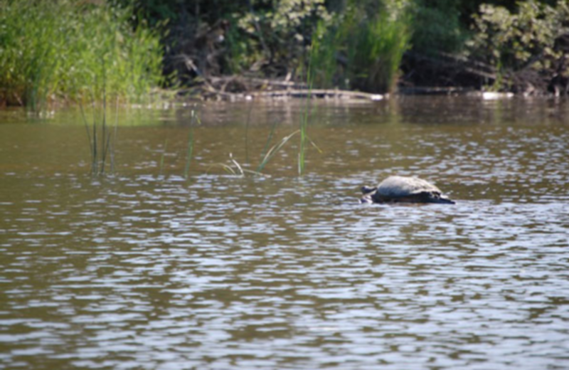 Snapping turtle at Angle Inn Lodge.
