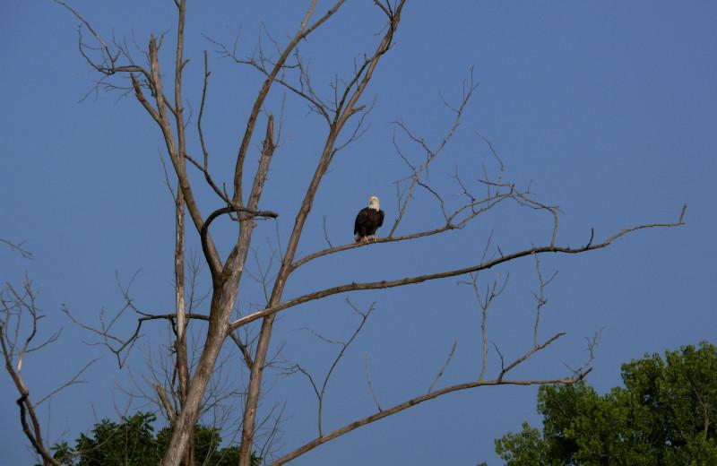 Eagle at Copper John's Resort.