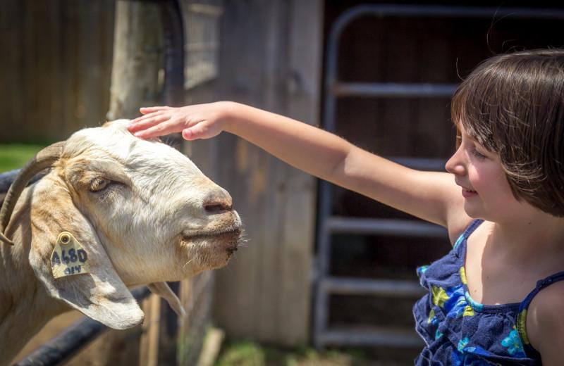 Goat at Massanutten Resort.