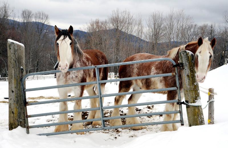 Horses at The Mountain Top Inn & Resort.