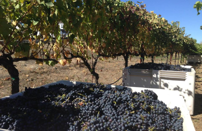 Harvesting grapes at Deerfield Ranch.