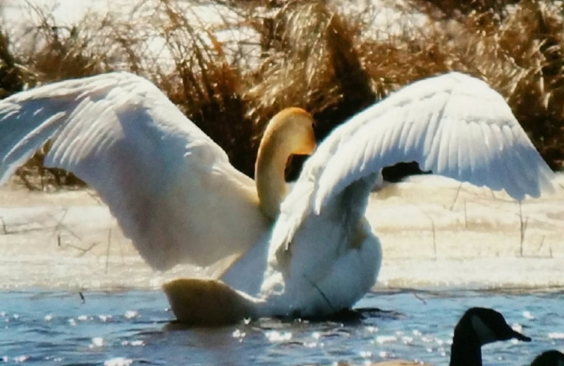 Swan at Pine Beach Resort-Side Lake.