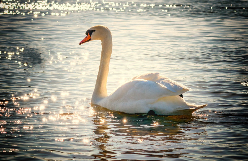 Swan at Sandbanks Summer Village Cottage Resort.