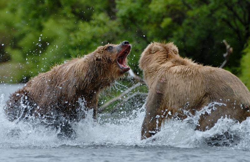 Bears at Alaska Trophy Adventures Lodge.