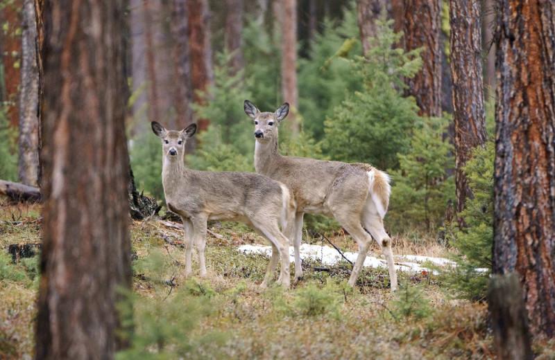 Deer at The Green O.