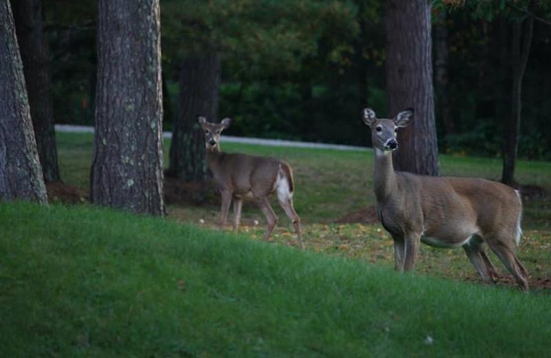 Deer at  North Country Inn.