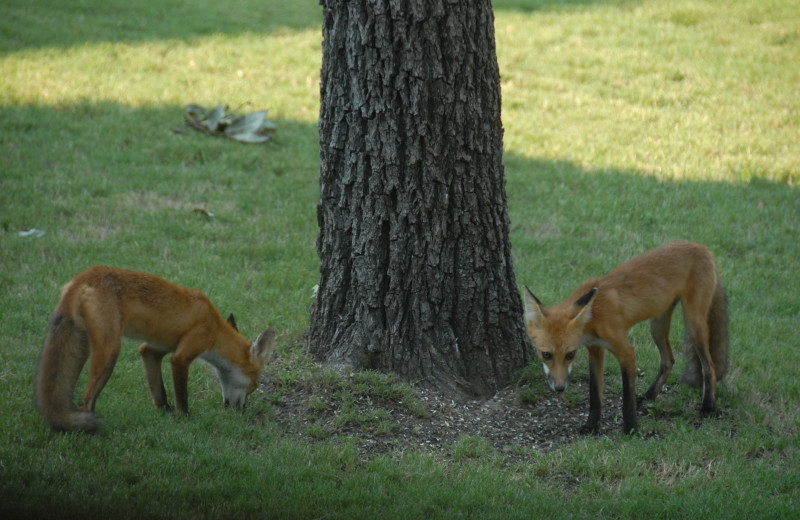 Foxes at The White River Inn.