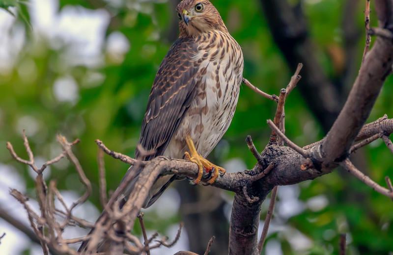 Hawk near Grand Bear Resort at Starved Rock.