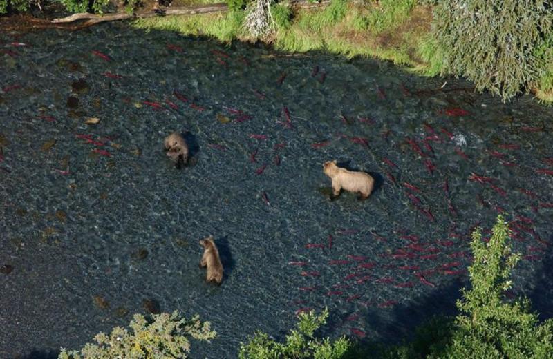 Bears catching salmon at Trail Lake Lodge.