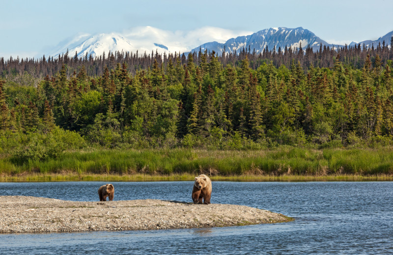 Brown bears at Alaska's Gold Creek Lodge.