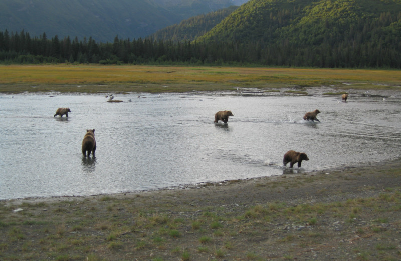 Bears at Great Alaska Adventure Lodge.