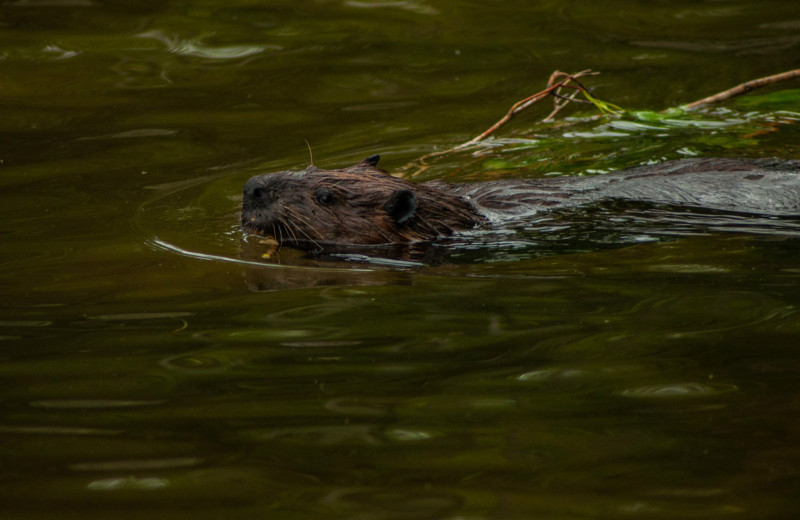 Beaver at Cliff Lake Resorts.