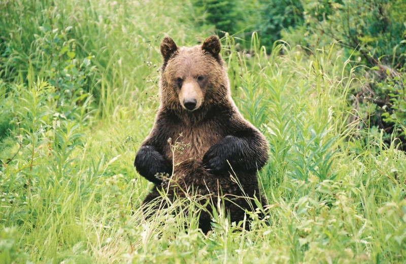 Grizzly bear at Johnston Canyon Resort.