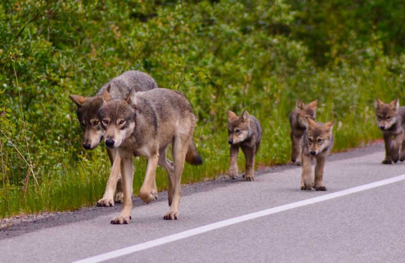 Wolf family at Johnston Canyon Lodge & Bungalows.