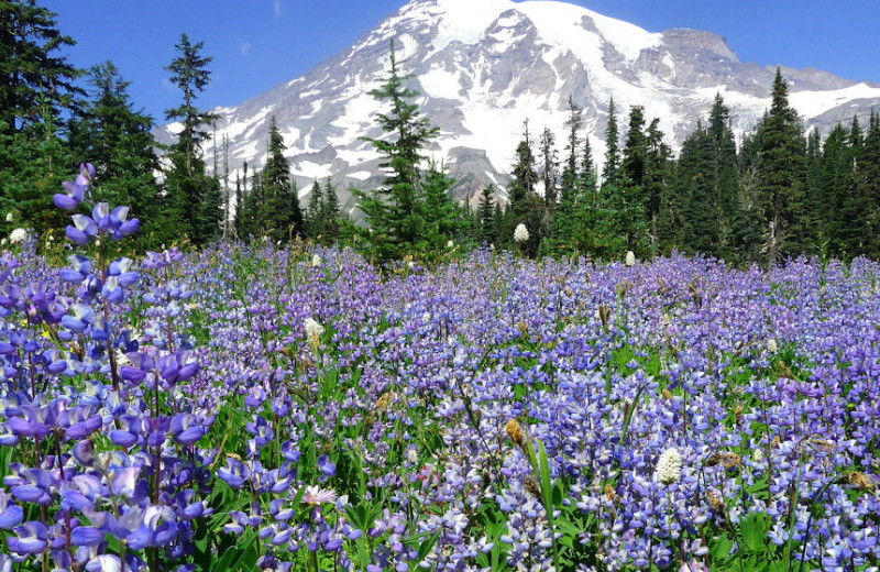 Field of flowers at Jasmer's Rainier Cabins & Fireplace Rooms.