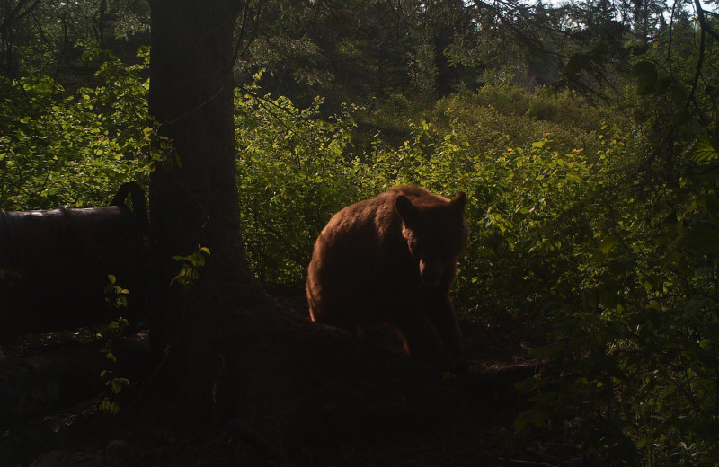 Bear at Dahl Creek Outfitters.