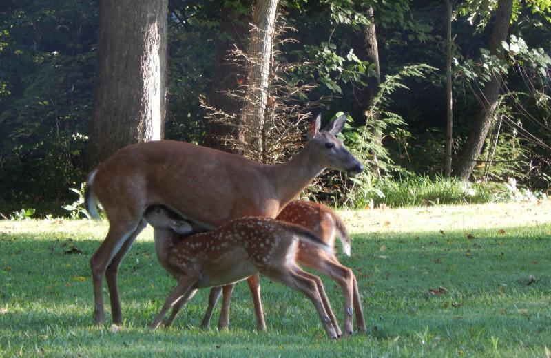 Deer at Chateau Lake Logan.