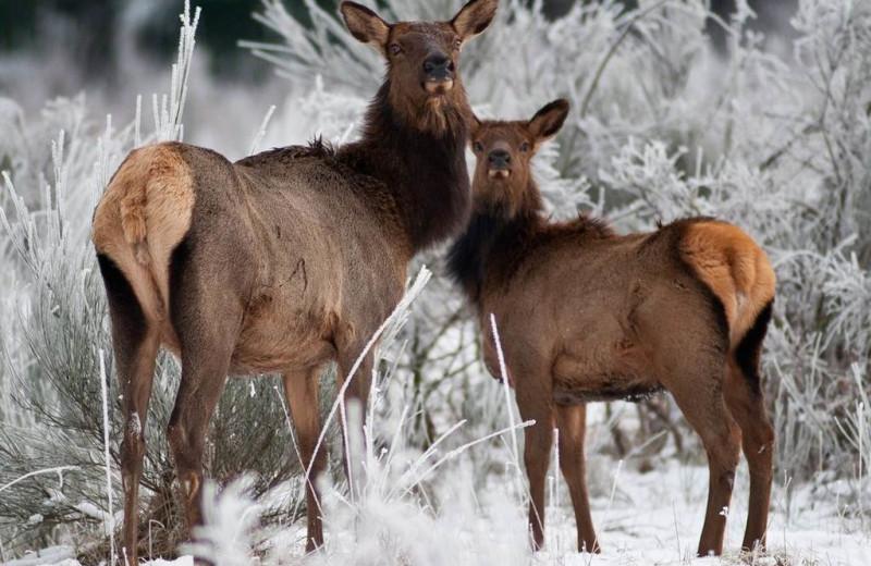 Elk at Packwood Lodge.