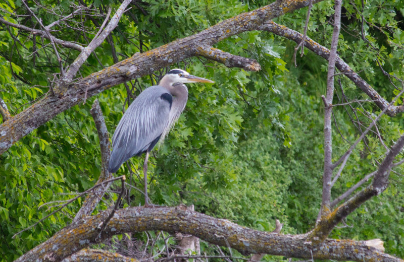 Heron at Seclusion Point Campground.