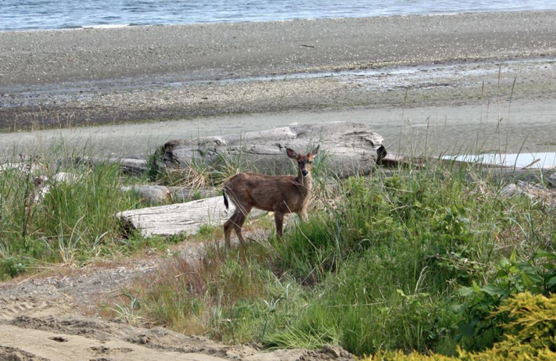 Deer on the beach at The Shorewater Resort.