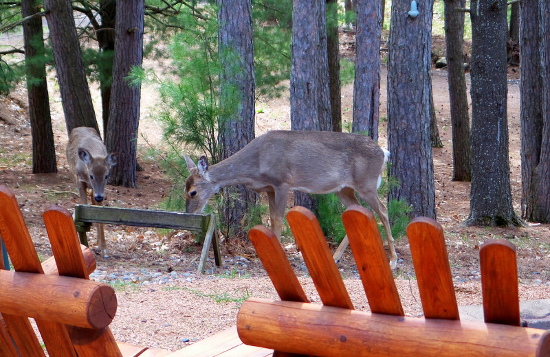 Deer at Nitschke's Northern Resort.