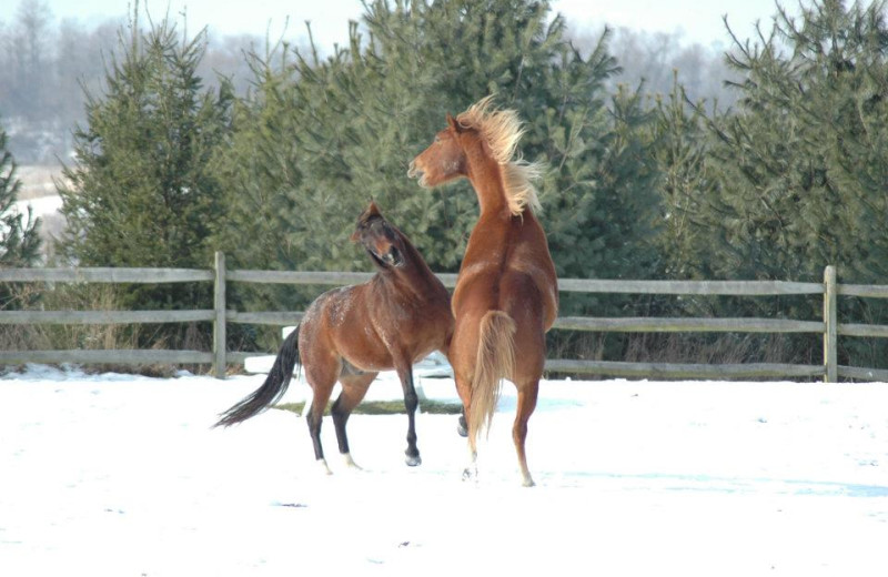 Horses playing at Guggisberg Swiss Inn/Amish Country Riding Stables.