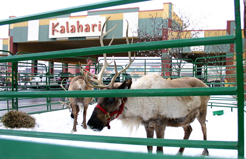 Holiday reindeer visiting Kalahari Waterpark Resort Convention Center.